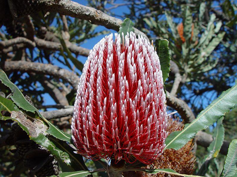Banksia Nyungar Food